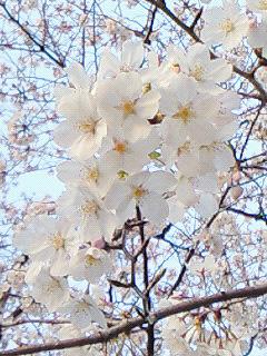 谷中の桜!